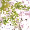 もうひとつの桜物語