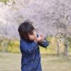 淡路島「鮎屋ダムの桜」が満開で最高でした(2019年4月6日)穴場のお花見スポット!