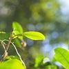 【抹茶おすすめの銘柄】チャノキの葉、花と実~お茶農家の栽培と抹茶