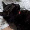 ネコ 黒猫 キジ猫 ときどき野良猫