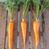 ニンジンの栽培①土作り~種まき