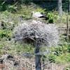 【コウノトリ誤射事故】残されたオス鳥、ひなに餌やり確認 ひな保護の可能性も