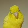 小鳥のメイ