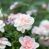 バラとワビサビがコラボ?依田さんの天気で紹介のバラ盆栽が人気!?