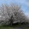 多摩川桜百景 -3. 多摩川等々力土手桜並木-