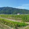 胡麻収穫2013