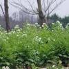 大根と蕪の花がきれいな季節です。