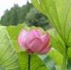 ハスの花を見にいく(3)