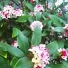 我が家の沈丁花は孤高の女王様!甘い香りは幸せを運ぶ香り
