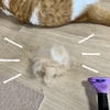 【猫学】今年も抜け毛の季節到来!猫の換毛期とは?抜け毛対策などをまとめてみました。