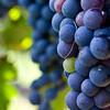 ブドウの育成サイクル - ポイントは流れと対応するフランス語だ!