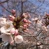【お花見】4/2 代々木公園 桜の開花状況と混雑状況:場所取りは何時に行けばいい? (2017/4/2)