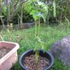 8/20 夏オクラ植えてみました。 10日目