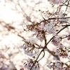 <障害児を育てる>自閉症的桜の楽しみ方
