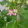 紫陽花、マツバギク、グラジオラス