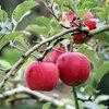 高野のリンゴと奥出雲おろち号