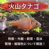 火山タナゴの特徴 外観・飼育・繁殖・色出し・購入について解説!