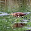 再掲:魚を狙うアカガシラサギ