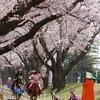 観戦 桜流鏑馬