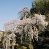 内子町の桜