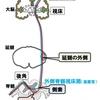 【基礎から学ぶ】脊髄視床路(温痛覚・触圧覚)【解剖生理学】