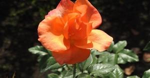 【雑学】自然観察指導員の徒然草=バラは見ても使っても癒しになる~後編 大統領と美智子上皇后陛下も