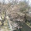 朝露の桜をみて。
