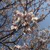 1240 桜