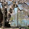 岐阜県最後の巨桜が、満開...?
