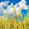 米の品種でかゆくなったり、体調が悪くなる人がいます