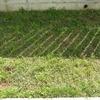 クラピアを植えて1年2ヶ月…雑草が目立ち始めました