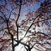 御苑の糸桜