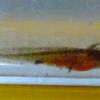 アカハライモリ幼生、お腹パンパン。