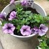 梅雨入り 鉢花の成長