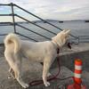 理想の紀州犬への模索