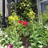 モッコウバラ咲きました