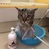 お風呂好き猫のプーチンさんの為にペット用抗ダニ・保湿高級シャンプープロポリス・ワンを買ったのだ(シャンプー編)