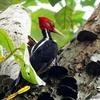 ベリーズ メイフラワー・ボカウイーナ国立公園の鳥たち