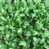 庭の作物、ホウレンソウとアスパラ菜のその後