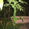 9/15 夏オクラ植えてみました。 36日目