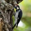 ベリーズ 郊外で見られる Acorn Woodpecker (エイコーン ウッドペッカー)