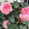「まつこの庭」のバラ