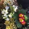 簡単に楽しむ玄関鉢の花々
