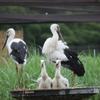コウノトリに2羽のヒナ誕生