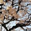 さいたよさいた。桜が咲いた。