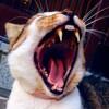 15歳以上の歯の汚い猫が食べ無いと来院したら、老衰?!