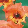 今日の誕生花「グラジオラス」下から順番に咲き、花の色が豊富!