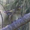 小笠原固有種のオガサワラカワラヒワのクラウドファンディングが募集開始