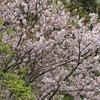 新緑と桜 別願寺