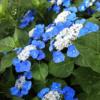 花にまったく興味のないオヤジが書く紫陽花のこと・・・紫陽花(あじさい)